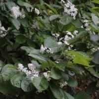 カマツカ(バラ科・カマツカ属)落葉小高木