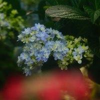紫陽花 (花 4471)