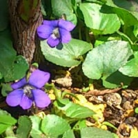 庭の花(ブルーベリー、ヒヤシンス、すみれ)