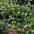 今年の夏も朝顔の時期になりました。 今朝は10輪ぐらい咲いてました。 青の単色です。