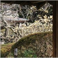 浄智寺のミツマタ&タチヒガンの蕾