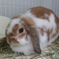ウサギ専門診療科75 腹壁ヘルニア