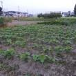 夫農園の野菜たち。