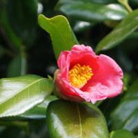 「トサミズキ」等、兼六園と金沢城公園の多々の植物(3月22日)