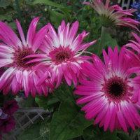 21日の散歩で見た花。(タチアオイ、ゴテチャ、スカシユリ、ベゴニア他)