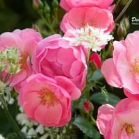 バラ ばら 薔薇♪~六甲アイランドシティ ローズガーデン