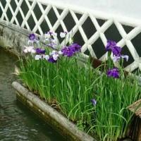 津和野の花菖蒲と鯉