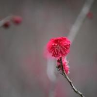 梅ちゃん、すこし咲いてます。