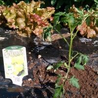 スイカ植えました。