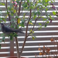 わが家のカワイイ訪問者 I love watching a bulbul which comes to my house