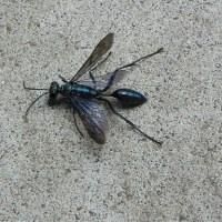 足が長く腰が細い瑠璃色の虫