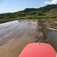 コシヒカリ種籾の蒔きなおし と 代掻き
