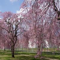 本日も桜です