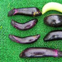 ナスビ栽培、異常な程の害虫被害で困ったな