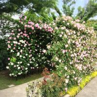 ゆりの里公園の薔薇