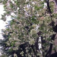春爛漫の京都  〜  立誠小学校跡・北側のギョイコウ桜