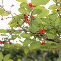 庭の木の実の色