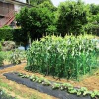 トウモロコシ囲い設置