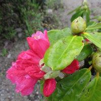 石楠花・躑躅など