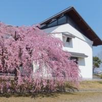 アグリの枝垂れ桜