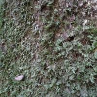 ケヤキの幹に珍しくヒラゴケの仲間が並んで生えていました。