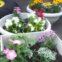夏の花に 植え替え