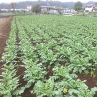 収穫体験の大根畑、いい感じです