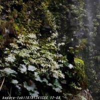 滝に咲く ダイモンジソウ