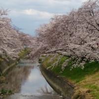 大和高田市 千本桜