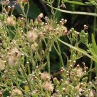 オオアレチノギク(キク科・イズハハコ属)越年草