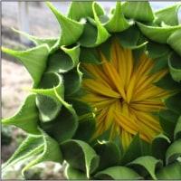 向日葵の萼