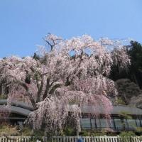 身延山と桜