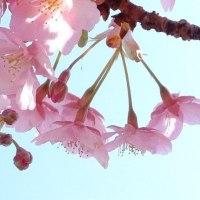 ★春一番・・・河津桜