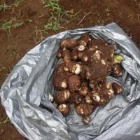 里芋を大収穫