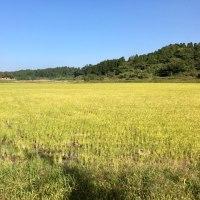 Gold field, いまごろ黄金色の田んぼ⁈