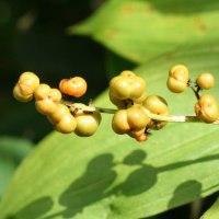春から順次 栂池自然園の花その30 ユキザサ