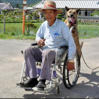 忠犬リリ、車いすを押す