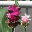 トーチの花