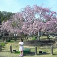 しあわせの村の枝垂れ桜