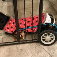 犬だけ痩せた・・・(;´・ω・) ワンコ飯【スモークチキン かぼちゃサラダ】