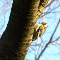 ヤマザクラの木にコゲラ