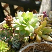多肉植物 I have a レディシア I hava a グリンローズ んっ ?????