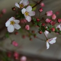 桜桃(ゆすらうめ) の花咲く散歩道で昔を