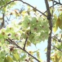 多摩森林科学園 4  御衣黄  読めますか?