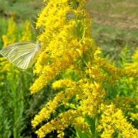 セイタカアワダチソウに紋白蝶