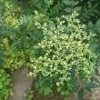 サンショウとそっくりだけど香りが少なく、花は8月に咲く イヌザンショウ
