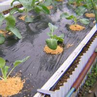 キャベツとカリフラワー栽培2016年秋、害虫被害と再植付カリフラワー追加植付