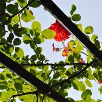 植物園②バラ