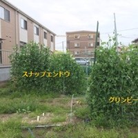 4/21(金)ズッキーニ植え付け & 里芋栽培地整備 他