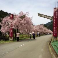 県内で一番人気の桜